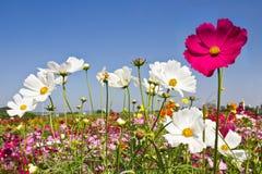 Blühender Kosmosblumengarten Stockfoto