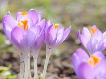 Blühender Krokus des neuen lila Frühlinges blüht in der alpinen Lichtung Stockfotografie