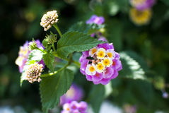 Blühender Lantana im Garten Lizenzfreies Stockbild