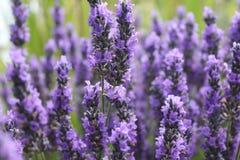Blühender Lavendel Stockfotografie