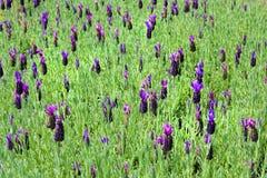 Blühender Lavendel Stockbilder