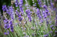 Blühender Lavendel Lizenzfreies Stockbild