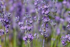 Blühender Lavendel Lizenzfreies Stockfoto