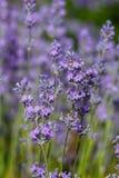 Blühender Lavendel Lizenzfreie Stockbilder