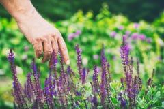 Blühender Lavendel im Kräutergarten Stockbilder