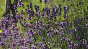 Blühender Lavendel im Wind stock video footage