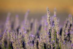 Blühender Lavendel in Provence, Frankreich lizenzfreies stockbild