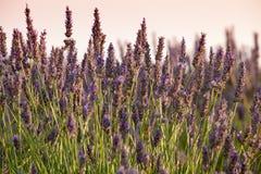 Blühender Lavendel, Provence, Frankreich lizenzfreies stockbild