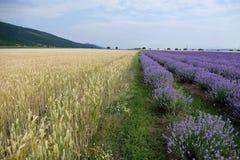 Blühender Lavendel und Weizen Stockbilder