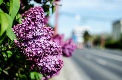 Blühender lila Abend Lizenzfreies Stockbild