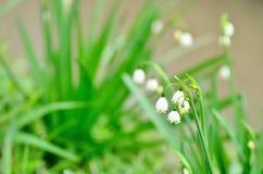 Blühender Lily-of-the-valley (Nahaufnahme). Lizenzfreies Stockbild