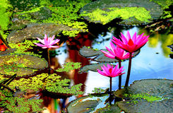 Blühender Lotos Lizenzfreie Stockbilder