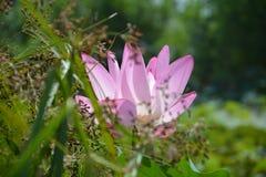 Blühender Lotos Stockfoto