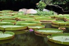Blühender Lotos, der auf einen Lotosteich schwimmt Lizenzfreies Stockbild
