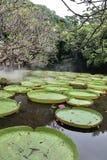 Blühender Lotos, der auf einen Lotosteich schwimmt Stockfoto