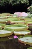 Blühender Lotos, der auf einen Lotosteich schwimmt Lizenzfreies Stockfoto