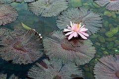 Blühender Lotos im Teich der Stadt parken Stockbilder