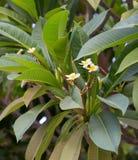 Blühender Magnolienbaum Lizenzfreie Stockfotografie