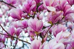 Blühender Magnolienbaum Stockfotografie