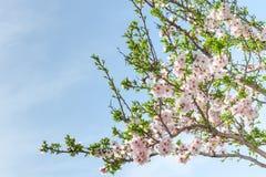 Blühender Mandelbaum des Frühlinges mit Blumen und Laub Stockfotos