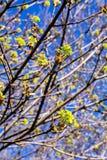 Blühender Norwegen-Ahorn (Acer-platanoides) Stockfotografie