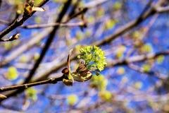 Blühender Norwegen-Ahorn (Acer-platanoides) Lizenzfreies Stockfoto