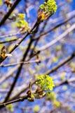 Blühender Norwegen-Ahorn (Acer-platanoides) Lizenzfreies Stockbild