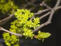 Blühender Norwegen-Ahorn, Acer-platanoides, Blumen mit unscharfem Hintergrundmakro, flacher DOF, selektiver Fokus Stockbild