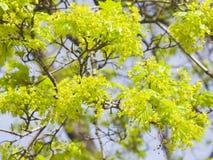 Blühender Norwegen-Ahorn, Acer-platanoides, Blumen mit unscharfem Hintergrundmakro, flacher DOF, selektiver Fokus Lizenzfreie Stockfotografie