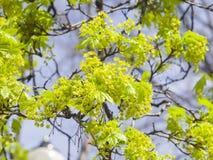 Blühender Norwegen-Ahorn, Acer-platanoides, Blumen mit unscharfem Hintergrundmakro, flacher DOF, selektiver Fokus Stockfotografie
