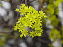 Blühender Norwegen-Ahorn, Acer-platanoides, Blumen mit unscharfem Hintergrundmakro, selektiver Fokus Stockfotos