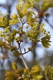 Blühender Norwegen-Ahorn (Acer-platanoides) gegen blauen Himmel, backlite Stockfoto
