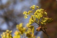 Blühender Norwegen-Ahorn (Acer-platanoides) gegen blauen Himmel, backlite Stockbilder