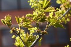 Blühender Norwegen-Ahorn (Acer-platanoides) gegen blauen Himmel, backlite Stockfotografie