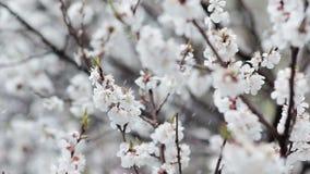 Blühender Obstbaum und Schneefälle am Frühling stock video