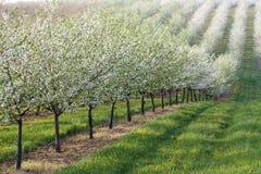 Blühender Obstgarten lizenzfreie stockfotografie