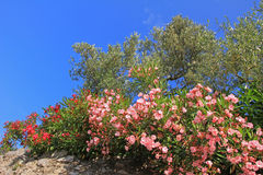 Blühender Oleander und Olivenbäume Stockbild