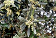 Blühender Olivenbaum Stockbild