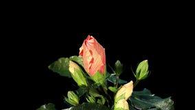 Blühender orange ALPHAlech der Hibiscusblumenknospen, stock video