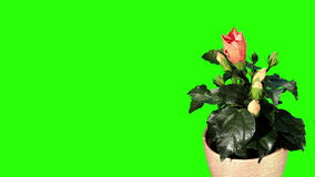 Blühender orange grüner Schirm der Hibiscusblumenknospen, stock footage