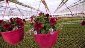 Blühender Petunienabschluß oben, Petunie in einem Topf, rosa blühende Petunie in einem Topfabschluß oben stock video footage
