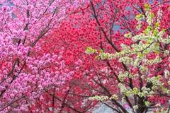 Blühender Pfirsich Stockfoto