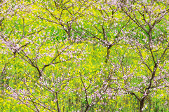 Blühender Pfirsich Lizenzfreie Stockbilder