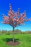 Blühender Pfirsichbaum Stockbild