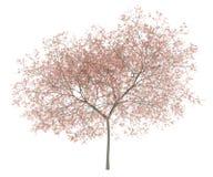Blühender Pfirsichbaum lokalisiert auf Weiß Stockfotografie
