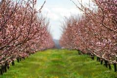 Blühender Pfirsichobstgarten lizenzfreie stockfotos