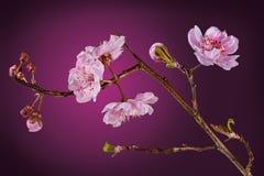 Blühender Pflaumebaum Stockfotografie