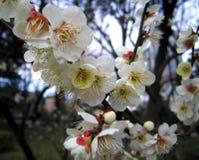 Blühender Pflaumebaum Stockfoto