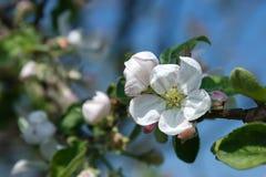 Blühender Pflaumenbaum des schönen Frühlinges mit niedrigem dof Lizenzfreies Stockfoto