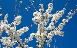 Blühender Pflaumezweig gegen blauen Hintergrund Stockbild
